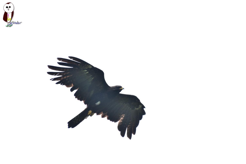 Black_Eagle_2617