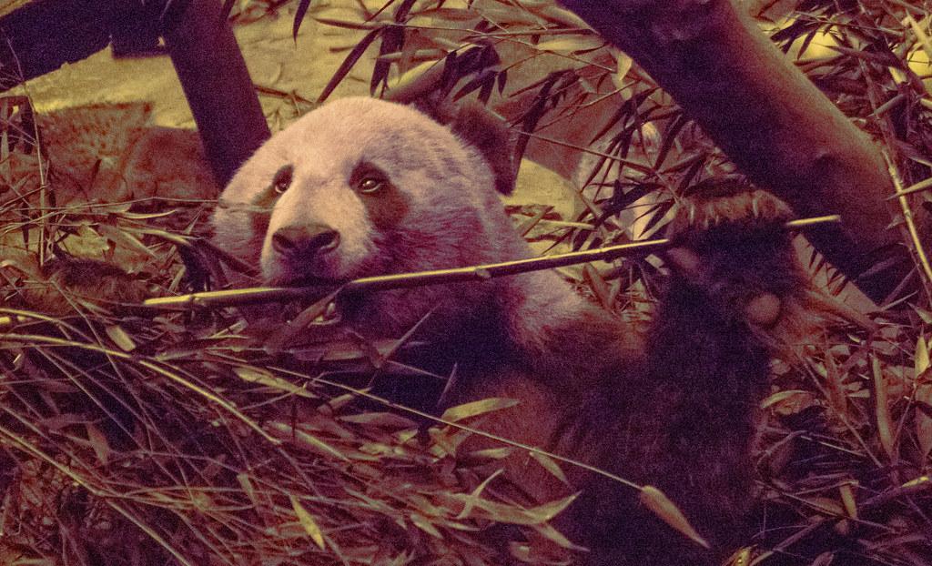 Panda (UV)_4