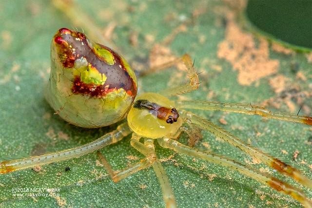 Mirror spider (Thwaitesia sp.) - DSC_9373b