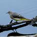 Grey Wagtail ---- Motacilla cinerea