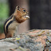 Gold-mantled Ground Squirrel