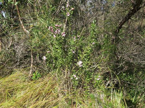 Eriostemon australasius plant NC1