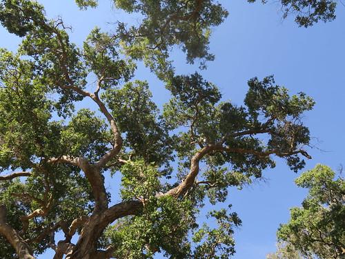 Angophora subvelutina canopy NC2