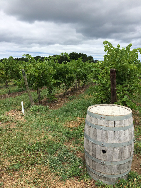 Johnson Estate Vineyard