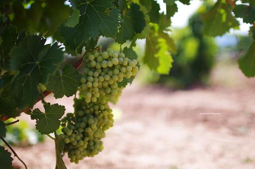 Grapes at La Rioja