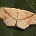 Maidens Blush (Cyclophora punctaria).