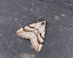 70.193 Lesser Treble-bar - Aplocera efformata