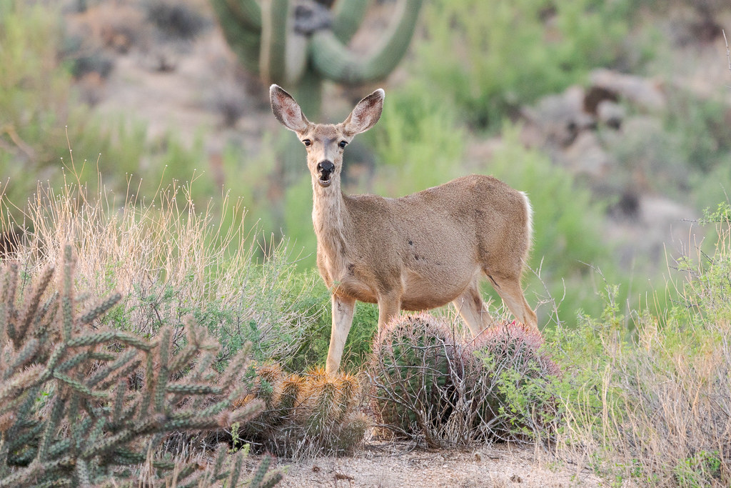 A mule deer chews its food along the Chuckwagon Trail in McDowell Sonoran Preserve in Scottsdale, Arizona