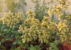 Oregano in bloom.
