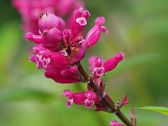 Agastache  (Giant hyssop) 'Raspberry Summer' flowers