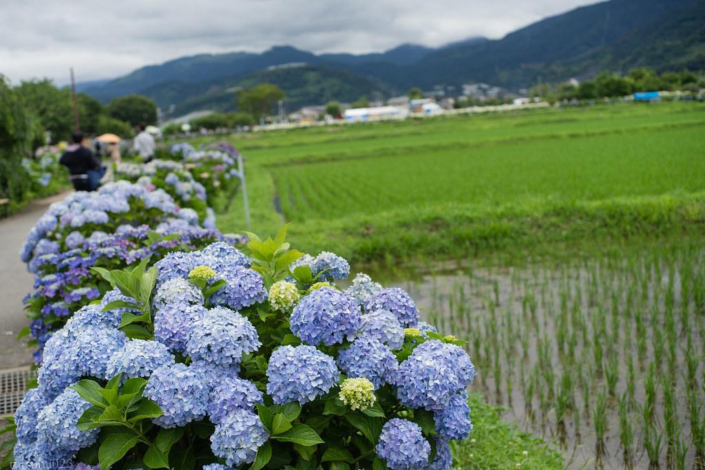 2018-06-16 開成町の紫陽花 006