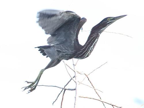Green Heron 01-20180622