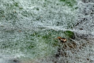 Sheet weaver spider (cf. Microlinyphia sp.) - DSC_7835