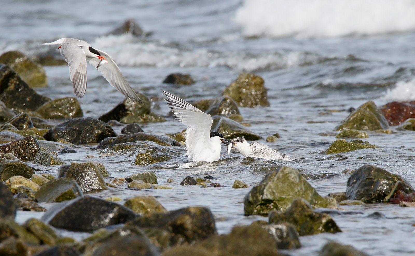 Common and Sandwich Terns