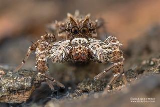 Jumping spider (Portia cf. schultzi) - DSC_3804