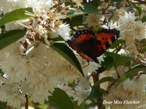 Farfalla (6)