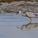 White faced heron_7125 by stan sutton