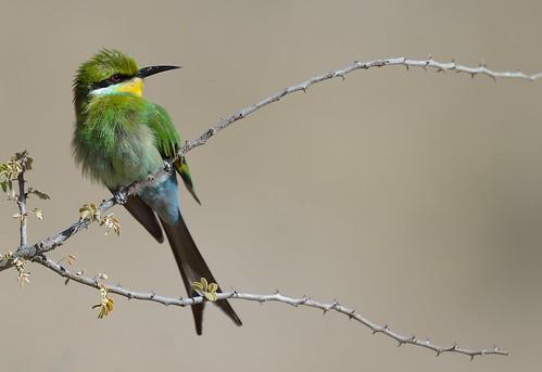 Swallow-tailed bee-eater(Guêpier à queue d'aronde )