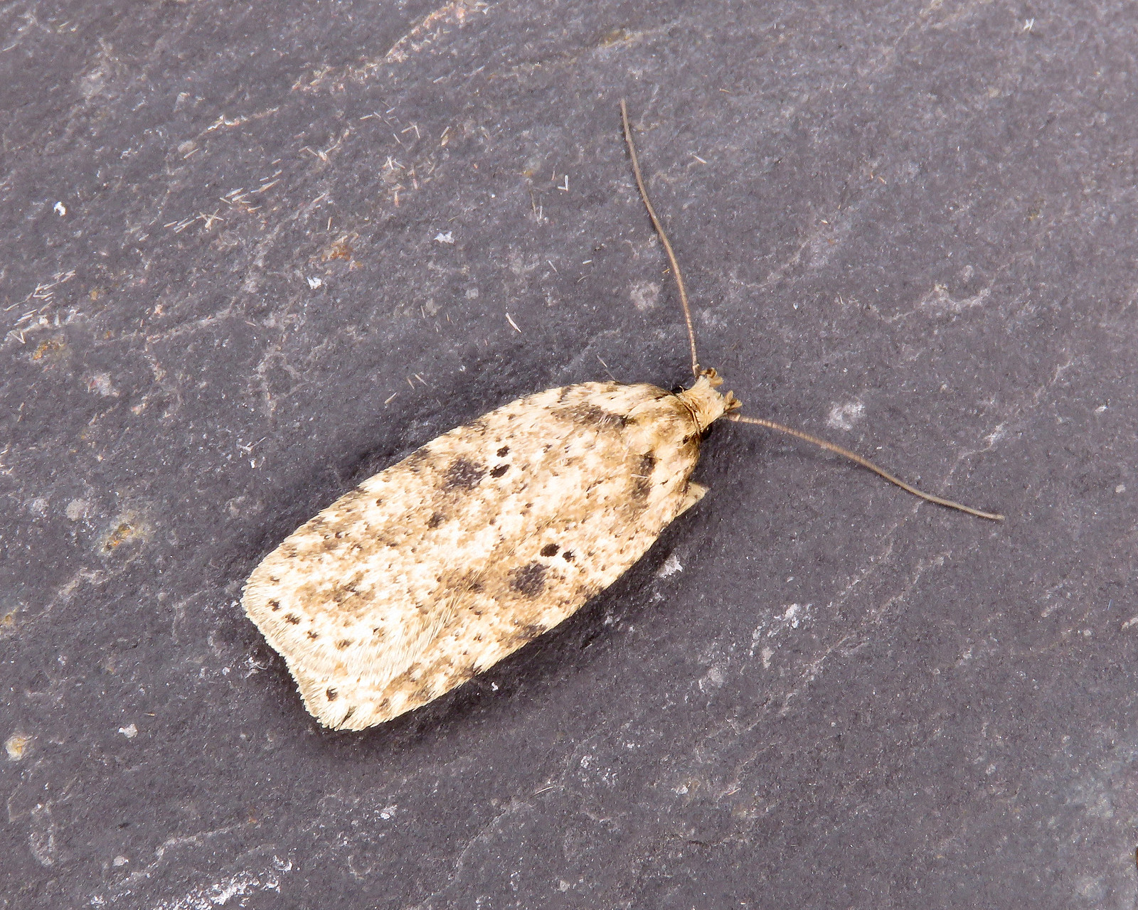 32.017 Brindled Flat-body - Agonopterix arenella
