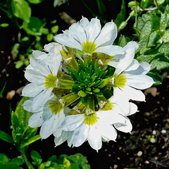 White Sparkle Scaevola
