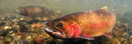 Spawning-Cutthroat-Lamar-Valley-photo-by-Jay-Fleming