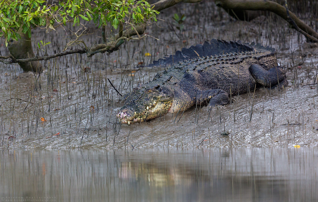 Indian Mugger Crocodile resting on the river banks in Sunderbans tiger reserve