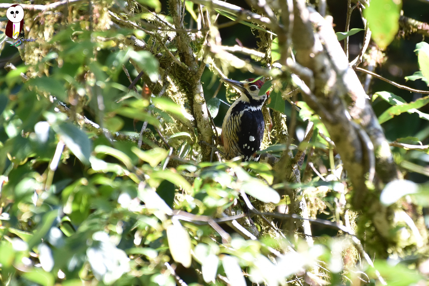 White-backed_Woodpecker_1370