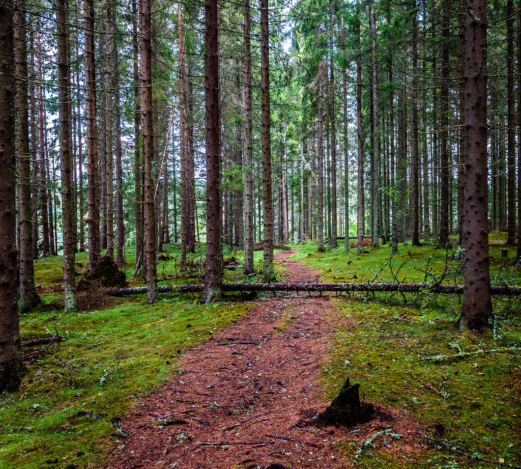 Path in spruce forest