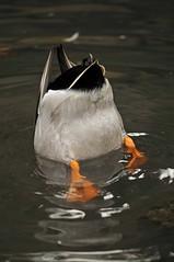 Duck's ass???????
