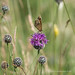 Meadow Brown - Mill Hill (09)