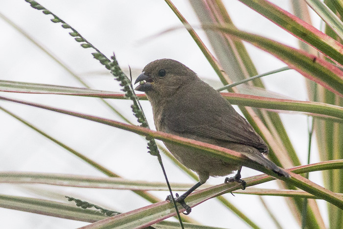 Unknown seedeater