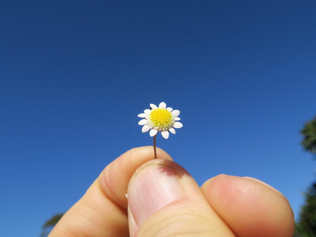 Cotula turbinata flowerhead NC8