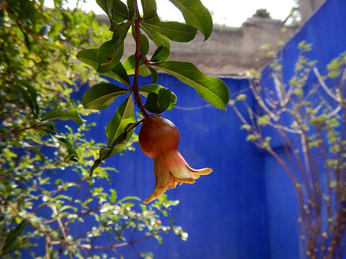 A pomegranate against the blue wall of the garden next door to the Casa Barragán, both designed by Luis Barragan, the Mexican architect known for his use of brilliant space and light