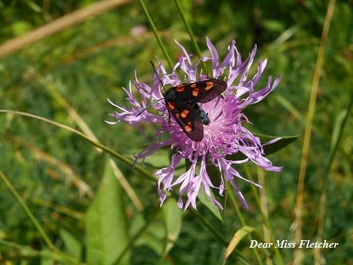 Farfalla (8)