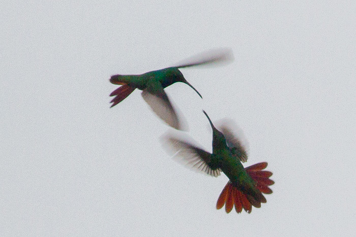 hummingbirds fight