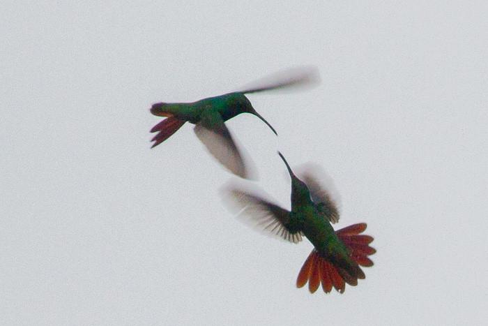 hummingbirds fight