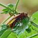 Large Alder Sawfly --- Cimbex connatus