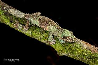 Mossy leaf-tailed gecko (Uroplatus sikorae) - DSC_7616