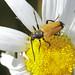 Tawny Longhorn Beetle - Paracorymbia fulva
