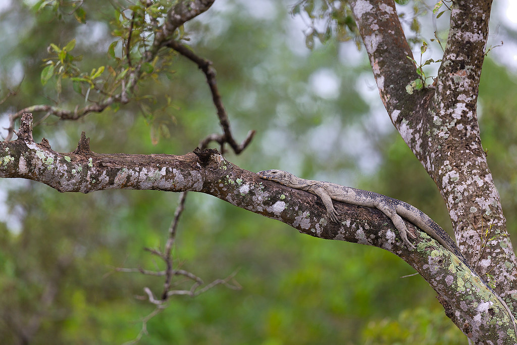 A Bengal Monitor Lizard resting upon a tree during high tides in the mangroves in Sunderbans