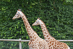 2018.06.19.030 CHAMPREPUS - Parc animalier - Girafes - Photo of Champcervon
