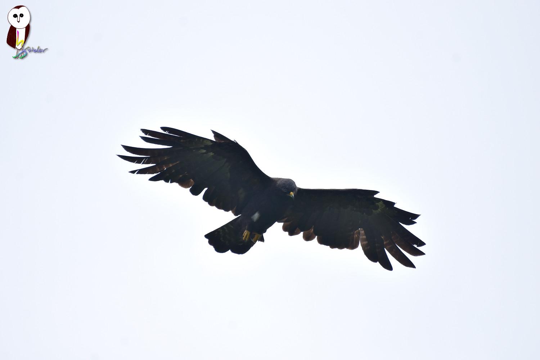Black_Eagle_2603