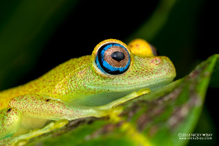 Green bright-eyed frog (Boophis viridis) - DSC_6728