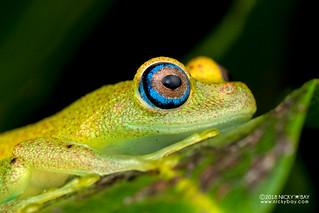 Green bright-eyed frog (Boophis viridis) - DSC_6728