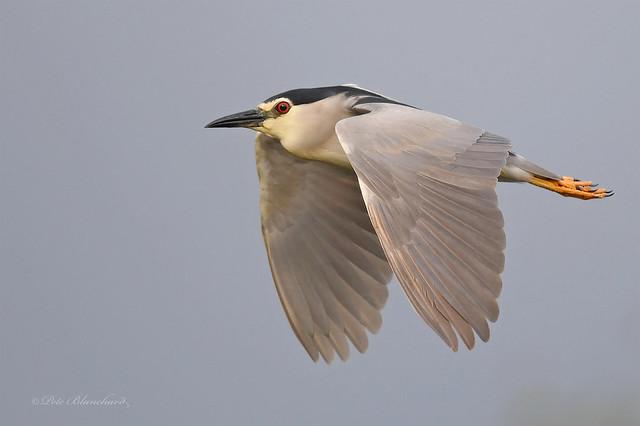 Night Heron (explored)