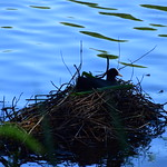 18SHR112 Coot on nest, Priorslee Flash