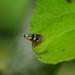 Apple Pygmy - Stigmella malella