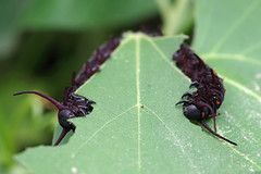 Pipevine Swallowtail Caterpillars