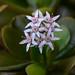 Jade plant flowers