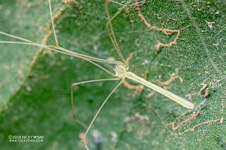 Daddy-long-legs spider (Pholcidae) - DSC_9322
